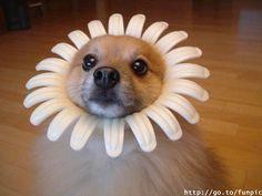 daisy head!