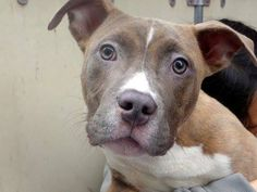 URGENT - Manhattan Center    JUDDA - A0995904    MALE, BR BRINDLE, PIT BULL MIX, 6 mos  STRAY - STRAY WAIT, NO HOLD  Reason STRAY   Intake condition NONE Intake Date 04/06/2014, From NY 10453, DueOut Date 04/09/2014,   https://www.facebook.com/photo.php?fbid=784228451590036&set=a.617938651552351.1073741868.152876678058553&type=3&permPage=1