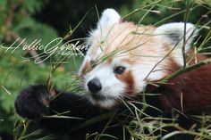 a very cute (and active) red panda :)