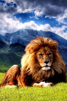 King of Kings - Lord of Lords - The lion of Judah! Beautiful Cats, Animals Beautiful, Animals And Pets, Cute Animals, Wild Animals, Baby Animals, Gato Grande, Lion Of Judah, Tier Fotos