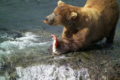 Everyone loves wild caught Alaskan sockeye salmon. Hungry bears agree. Our sockeye is smoked over an alder fire, pouch-sealed and available on Amazon. Can Salmon, Salmon Skin, Black Bear, Brown Bear, Simple Food Chain, Smoked Salmon Recipes, Ireland Food, Sockeye Salmon, Polar Bear