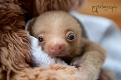 Yet another baby two toed sloth came to the rescue center a week ago. In wildlife rescue, sometimes you win and sometimes you lose. Right now this little guy is winning. Cute Sloth Pictures, Baby Animals Pictures, Funny Animal Pictures, Cute Baby Animals, Animals And Pets, Two Toed Sloth, Cute Baby Sloths, Baby Puppies, Puppy Cuddles