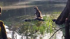 If you can't tell what's going on there, it's a RACCOON RIDING ON THE BACK OF AN ALLIGATOR AND WE ARE ALL SCREWED. SERIOUSLY, IF ALLIGATORS AND RODENTS ARE TEAMING UP THEN I'M OUT OF HERE.