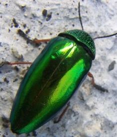 Jewel Beetle - the name certainly fits.
