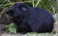 Download wallpapers black guinea pig, cute animals, pets, green grass, small decorative animals