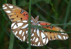 https://flic.kr/p/aq3zv4 | Gulf Fritillary butterfly, ventral | Gulf Fritillary (Agraulis vanillae)  butterfly, ventral view.  Found creek-side in early morning drizzle, where it had remained overnight.  1:2 mag, or half-life size.  Photographed at Central Park, Huntington Beach CA.  Hand-held Nikon D90 at ISO 400, with Nikkor 105-mm macro lens, 1/200-sec at f/16, Nikon SB-600 Speedlight with O-Flash 3/4-ringlight attachment.
