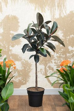 Rubber Plant | Ficus elastica - 130cm - 30cm