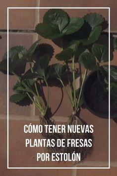 Cómo tener nuevas plantas de fresas por estolón.
