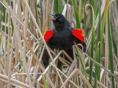 Red-Winged Blackbird ©Rolando Garcia.  Photo taken during Wild Bird Center of Boulder, CO  Bird Walk.