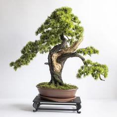 Bonsai sapling made by hand Bonsai, Ficus, Pine Tree, Feng Shui, Planter Pots, Handmade, Dragon, Living Room, Hand Made