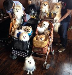 Mostly Pomeranians | We're gonna need more strollers…  via Instagram