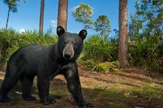POLL: Is Florida's Bear Hunt Necessary? by Supertrooper http://focusingonwildlife.com/news/poll-is-floridas-bear-hunt-necessary/