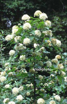 Physocarpus capitatus (90641)