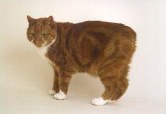 Google Image Result for http://animalku.com/wp-content/uploads/2011/07/manx-cat2.jpg