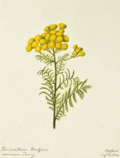 Sarah Pattman    Common Tansy    1844