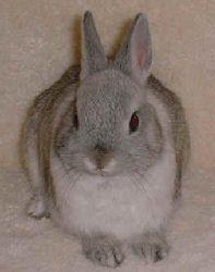 """""""Bonnie"""" is a female Netherland Dwarf Rabbit"""