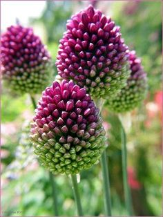 Allium - flowering garlic