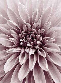 40395 - I love mauve - Flowers Flor Iphone Wallpaper, Jolie Photo, Garden Care, Dusty Rose, Lilac, Dusty Purple, Beautiful Flowers, Wedding Flowers, Bloom