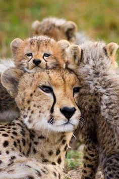 we are best Reliable and suppliers of cheetah cub's worldwide. Our shipping and delivery is safe and convenient. We are ready to sell and supplies the cheetah cub's World Wide Call/text or WhatsApp us via Big Cats, Cats And Kittens, Cute Cats, Siamese Cats, Beautiful Cats, Animals Beautiful, Beautiful Family, Simply Beautiful, Cute Baby Animals