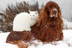 Red irish setter with white cat sitting on it, so cute!