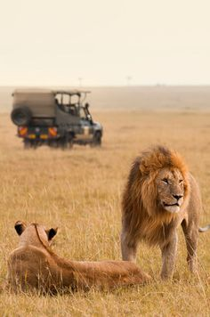 Safari? Lion King irl? Yes.