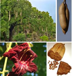 Kigelia africana afriica now world tropical。 fresh not edible。 Common Names, Seed Pods, Plantar, Tropical Garden, Botany, Red Flowers, Garden Inspiration, Garden Plants, Herbalism