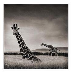 giraffe-heather
