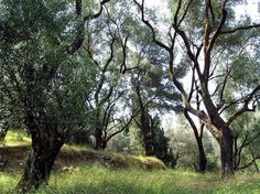 photographs of olive trees - Google Search
