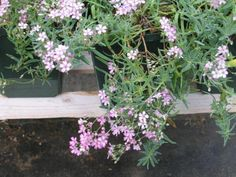"Gypsophila repens 'Rosea' - Pink Trailing Baby's Breath  Perfect for hot, dry locations, this low, trailing perennial has light pink flowers late spring and summer.   Grow in full or part sun in deep, light, sharply drained soil.   Use in rock gardens, trailing over rock walls, or in pots.   8""X30""   Hardy to –30 F.  Species is native to grasslands and rocky areas in the mountains of C and S Europe.  Caryophyllaceae"