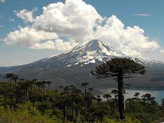 Araucaria araucana trees in Conguillío National Park, Chile