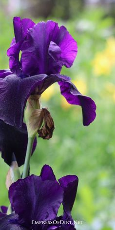 How beautiful are these deep purple irises? See the entire gallery of irises to get ideas for your garden