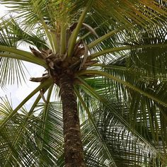Palm tree tenacity - bend without breaking! Enjoy your weekend . Enjoy Your Weekend, Caribbean Vacations, Yoga Retreat, Tgif, Palm Trees, Lifestyle, Holiday, Plants, Instagram