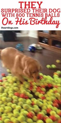 They Surprised Their Dog With 800 Tennis Balls On his Birthday! <3