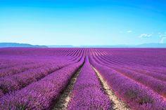 Lavender Provance, France