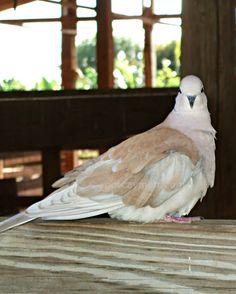 Caribbean dove | Grand Cayman, Cayman Islands