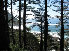 Sitka spruce on Pacific coast