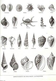 1923 Coquillages Larousse Encyclopedia original illustrated plate Molluscs framing scrapbooking marine decor 23 drawings from the sofrenchvintage shop on Etsy Shell Drawing, Seashell Tattoos, Design Tattoo, Illustration Mode, Fish Print, Antique Prints, Tropical Fish, Tattoo Inspiration, Design Inspiration