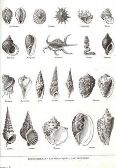 dessin coquillage - Recherche Google