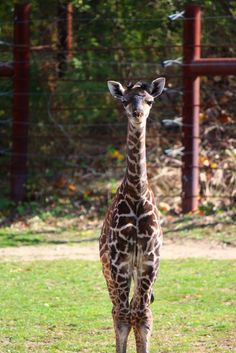 Six Foot Baby Born at Franklin Park Zoo