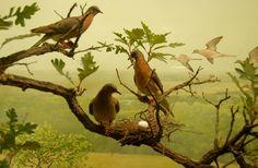 Passenger Pigeon (Now Extinct) Diorama