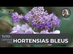 (345) Tuto : obtenir des hortensias bleus - YouTube Hydrangea, Gardens, Hydrangeas, Blue Hydrangea, Hydrangea Macrophylla