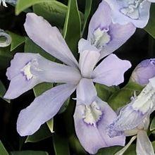 50+ BLUE FLOWERS  Blue Flowering Plants for sale,Blue Purple Flower,Blue Flowered Plants