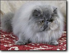 Blue Cream Persian looks so much like the one I had Miss Cheeky Paddy Paws