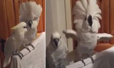 Side-splitting video shows parrot head-bobbing to Elvis | Daily Mail Online