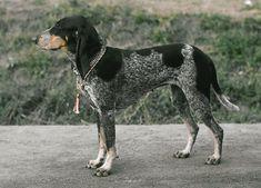 Luzerner Laufhund / Lucerne Hound #Scenthound #Puppy #Dogs Schwyz Hound / Schweizer Laufhund