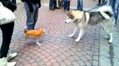 Funny video: Malamute Puppy meets Helium Cat, via YouTube. Dog confronted with balloon cat, doesn't know what to make of it