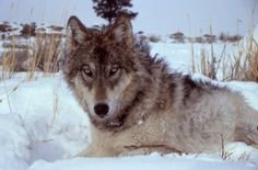 Loup <3 ****