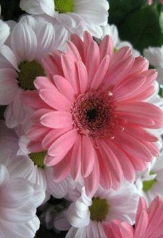 Gerbera Wedding, Gerbera Flower, Flora Flowers, Pink Flowers, Amazing Flowers, Beautiful Flowers, Daisy Art, Flower Painting Canvas, Sunflower Art