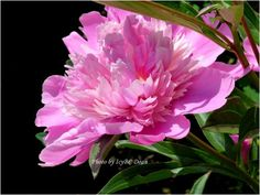 In Its Finest Time -This Peony was captured by Icy at just the right time. Found on RedGage.