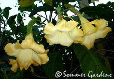 A new Sommer Gardens angel trumpet - Brugmansia 'Minneola Sunrise'